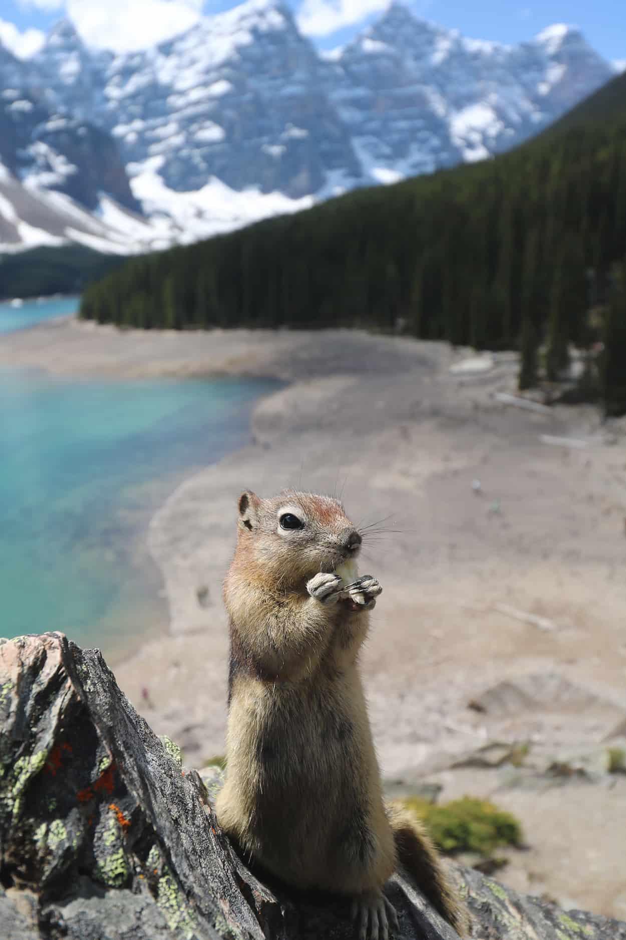 Chipmunk at Moraine Lake in Banff, Alberta