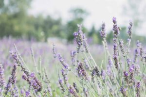 17 Lavender Fields in Ontario to Visit This Summer