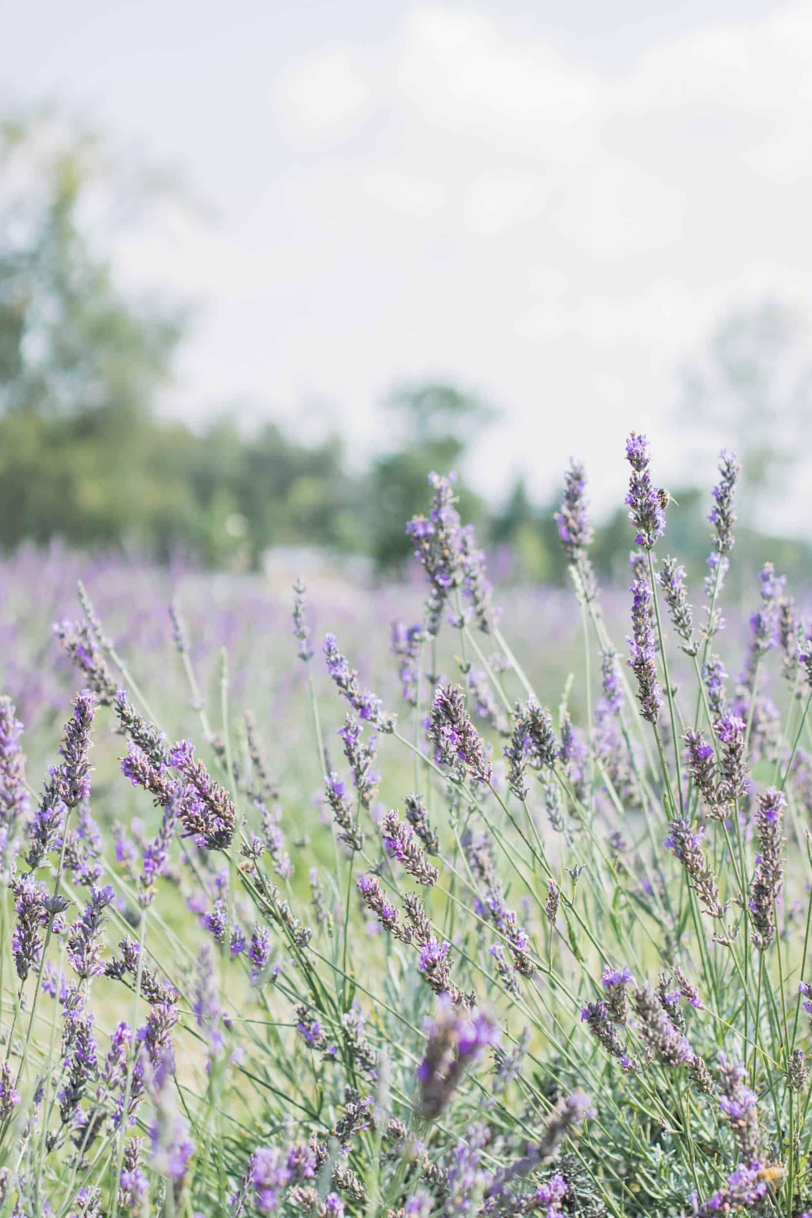 Terre Bleu Lavender Farm in Milton, Ontario
