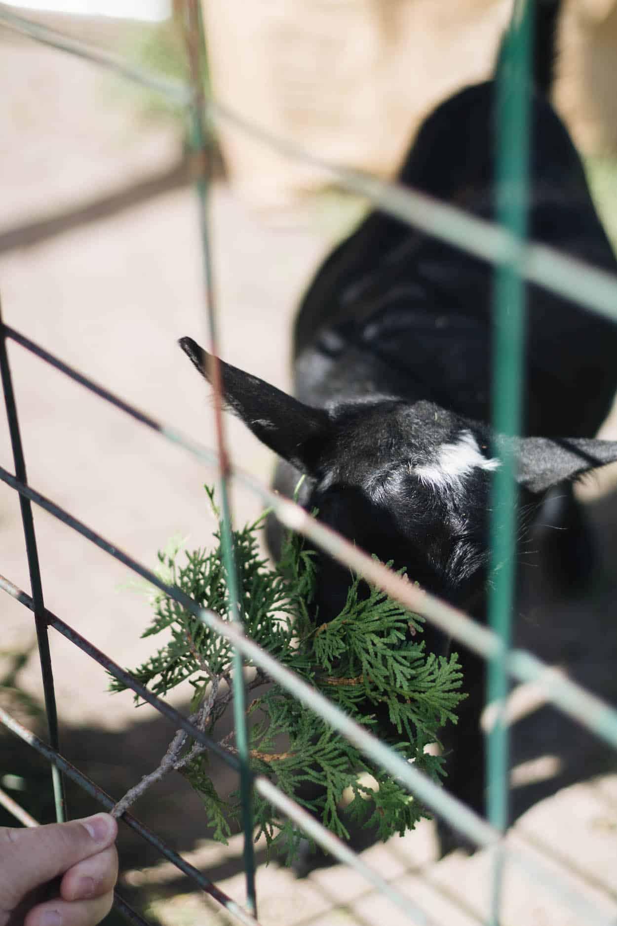 Baby goat at Haute Goat in Port Hope, Ontario