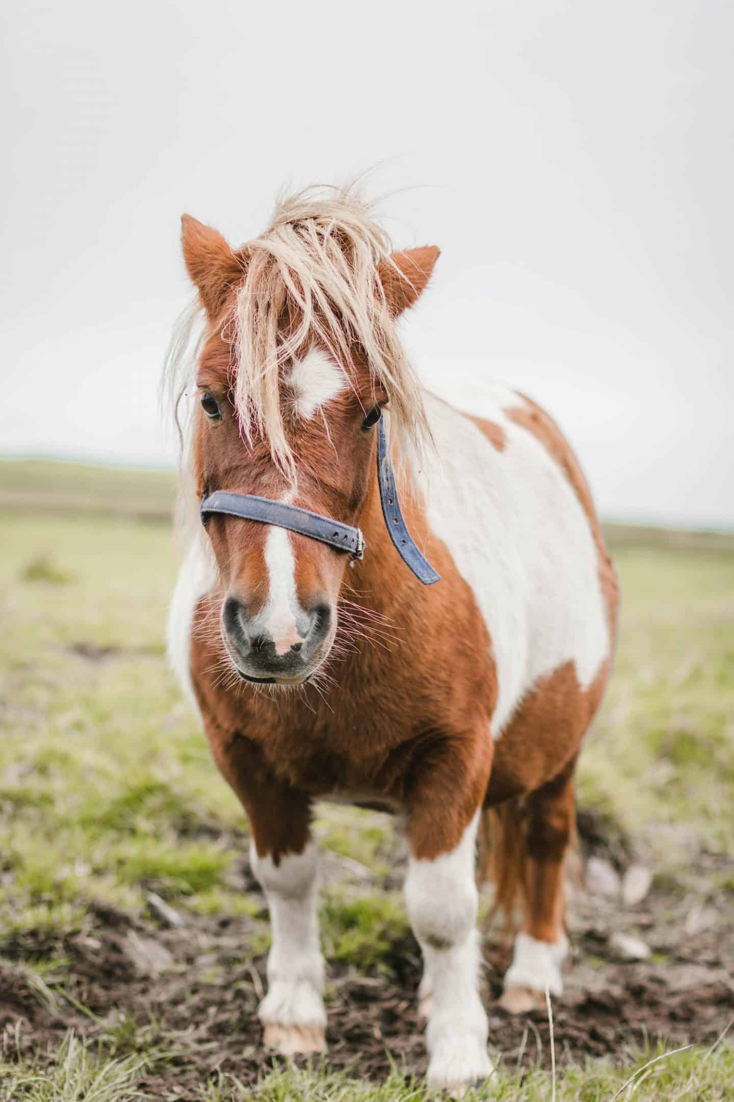 Adorable horses at the Kerry Cliffs in Ireland
