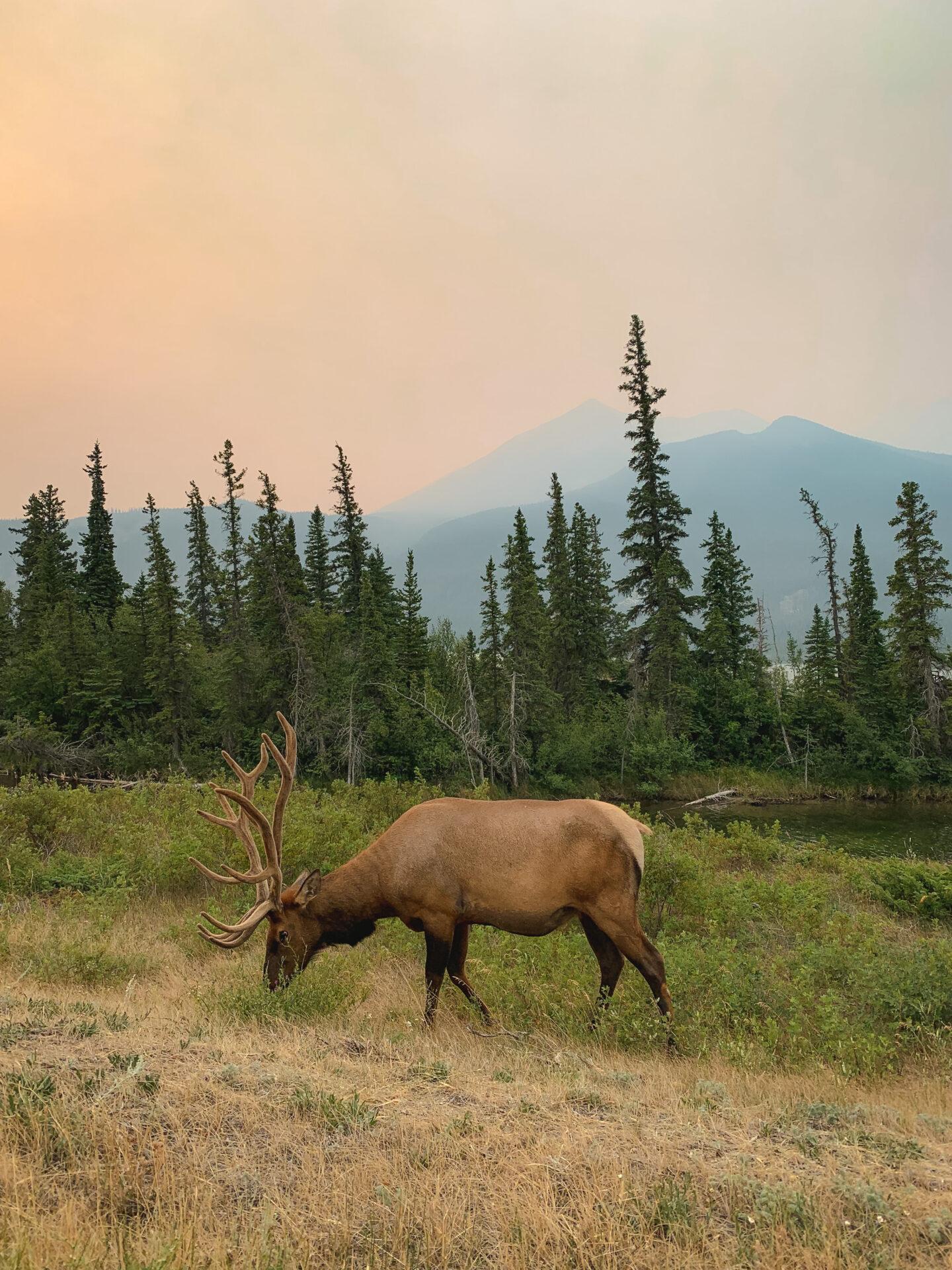 Wild caribou in Jasper National Park, Alberta