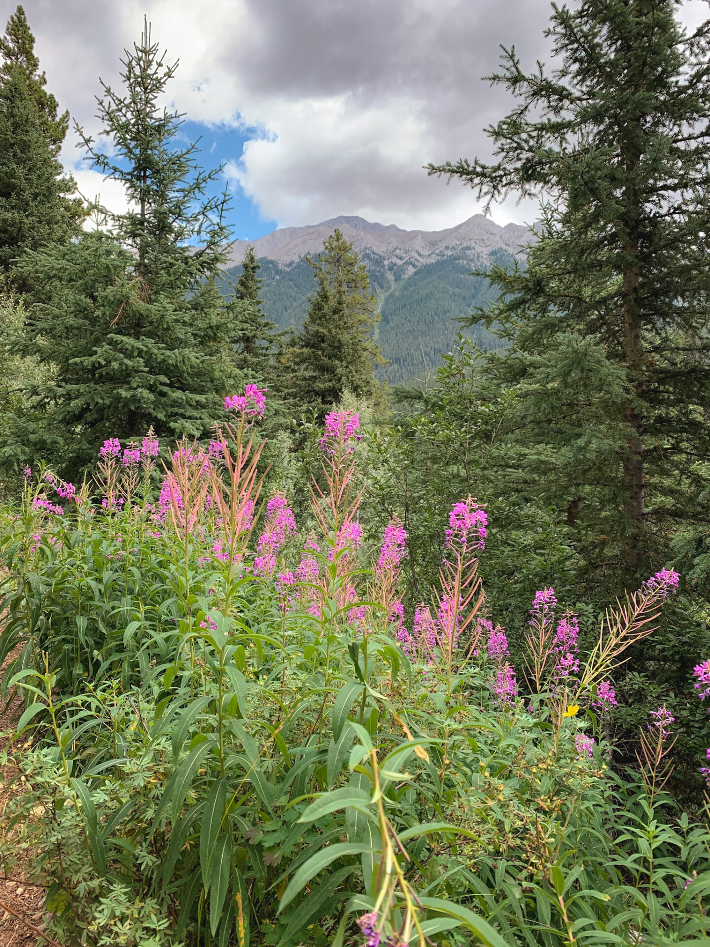 Wildflowers on the Ink Pots hike in Banff, Alberta